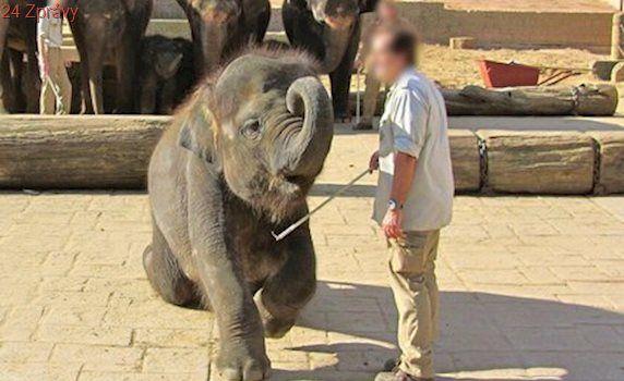 Ochránci zvířat šílí: V německé zoo bijí slůňata železnými háky