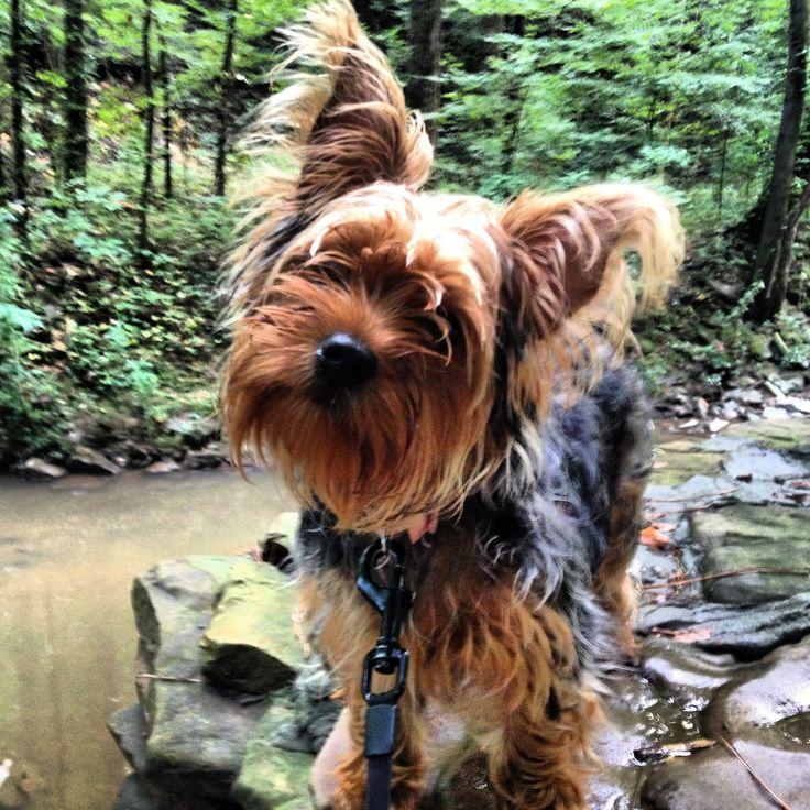 Yorkie puppy - Sophie :)