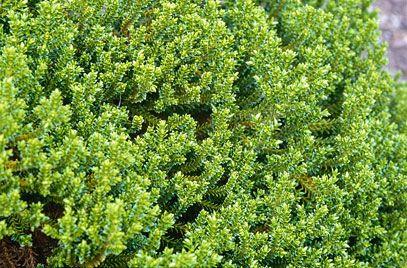 RHS Plant Selector Hebe 'Emerald Gem' AGM / RHS Gardening