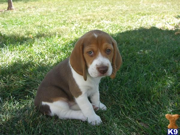 Chocolate Beagle Eeyore pose. Thanks for noticing me. =)