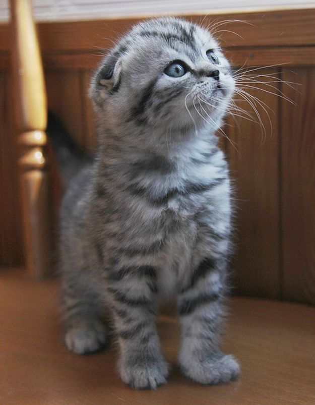 I have always adopted kitties, but one day I will buy a scottish fold kitty. So dern cute.