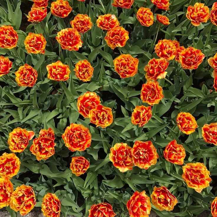"Keukenhof Gardens- Tulip Festival  18 Likes, 1 Comments - _shutterbug_ (@_shutterbug_bec_) on Instagram: ""Like fire  #tulipsfromholland #tulipsfordays #tulips #keukenhof"""
