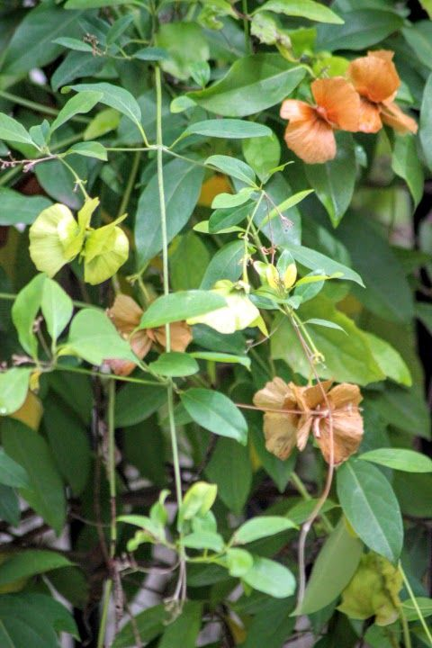 Rock-Oak-Deer: Yellow Butterfly Vine (Mascagnia macroptera) seeds look like flowers and the real flowers are much smaller and quite prolific.  Planted on a fence in full sun, it never seems to need anything and blooms year round most years.