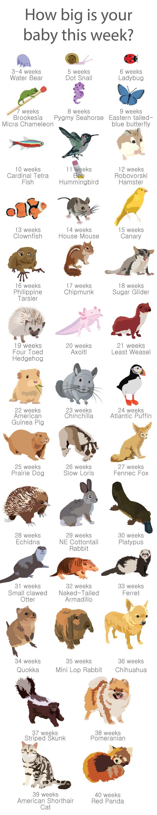31 best Fun Pregnancy parisons Week by Week images on Pinterest