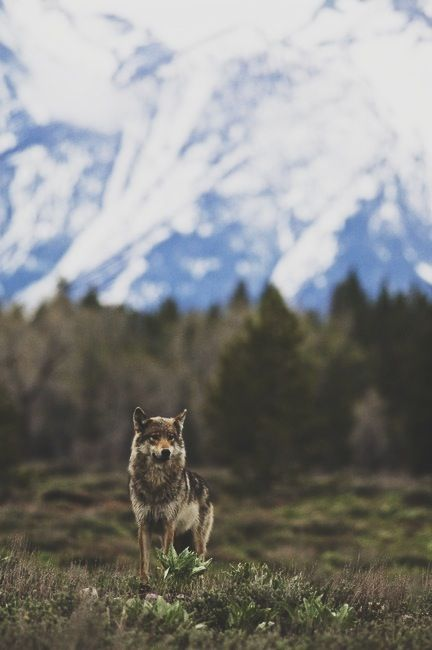 wolf: Wild, Animals, Nature, Beautiful, Posts, Wolves, Lone Wolf, Photography