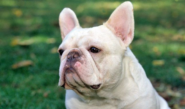Information about the French Bulldog including origin, temperament, life expectancy, grooming, and more