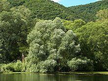 Salix alba - Wikipedia, the free encyclopedia
