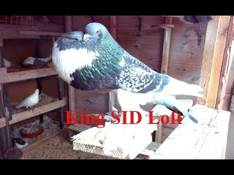 Best baby pigeons    breeding pigeons Porter calling     Pigeon cages da...