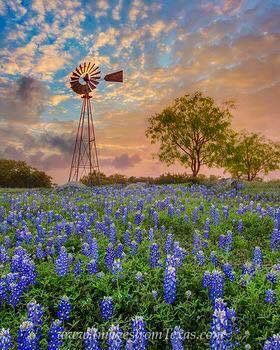 Texas Blue Bonnets in the Spring