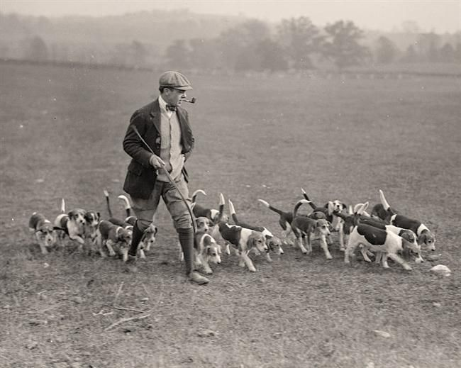 Man with Pack of Beagles: National Beagle Club, Dogs owned by Raymond Belmont. - 1914- Harris & Ewing
