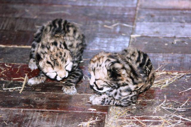 Cheetah cubs born at the Hoedspruit Endangered Species Centre