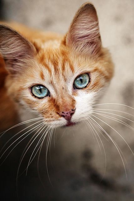 The eye color is stunning and the cat has red fur and freckel. How adorable?