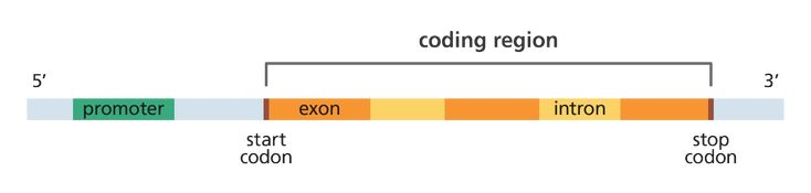 Here is a beautifully clear illustration of the basic structure of a gene showing the promoter, start codon, introns, exons and stop codon.