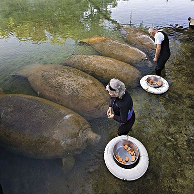 "Another pinner said: ""West Central Florida. HOMOSASSA SPRINGS WILDLIFE STATE PARK. Manatees visit many of the state's springs in winter, but you can see the gentle giants year-round at Homosassa Springs. Get here early, when they're most active. Three feeding times daily serve each animal. www.floridastateparks.org/homosassasprings. """
