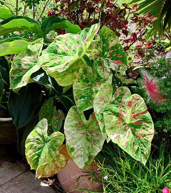 68 best images about caladiums a must have on pinterest for Garden plant information