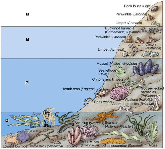 Intertidal Zone Animals (labeled!)