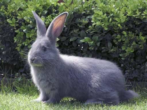 Blue British Giant Rabbit