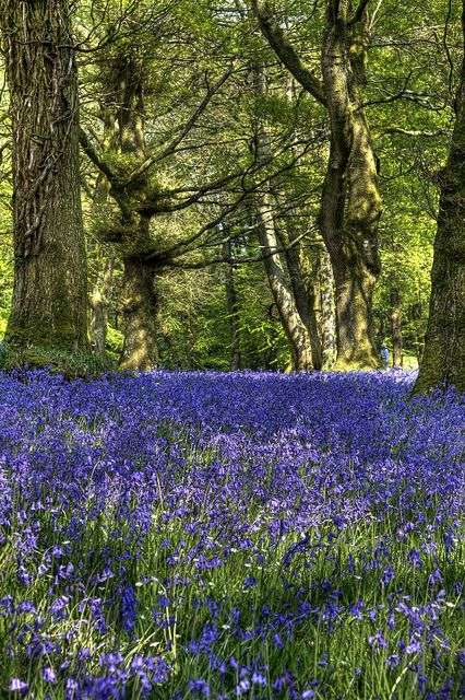 Just love bluebell woods Bluebells at Blackbury Camp in East Devon | Flickr - Photo Sharing! Used to be known as Blackberry Castle. Very special place indeed.