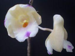 Dendrobium Indonesia Raya | ORCHIDS OF BORNEO - INDONESIA: TAMAN BUNGA TROPIS