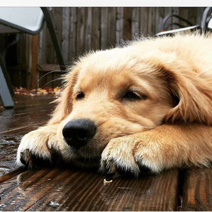 Tired golden retriever.