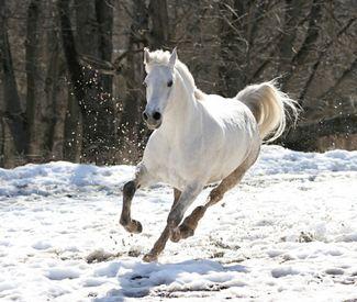 Den hvide hest