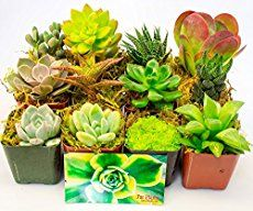 Have you ever wondered how much to water succulents? This post will teach you how to properly water succulents to keep them looking great!