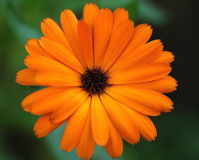 Calendula-The flower of October