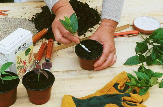 Bouturer la viorne (boule-de-neige) La culture de cet arbuste, aux fleurs en gros pompoms blancs, est assez facile. Multipliez-le par bouturage. Opération simple et rapide, elle se pratique à la fin de l'été.
