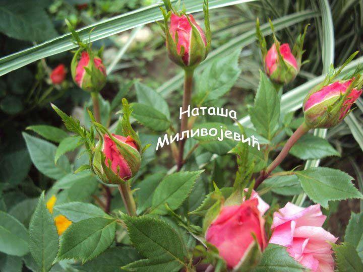 Prelepi roze pupoljci