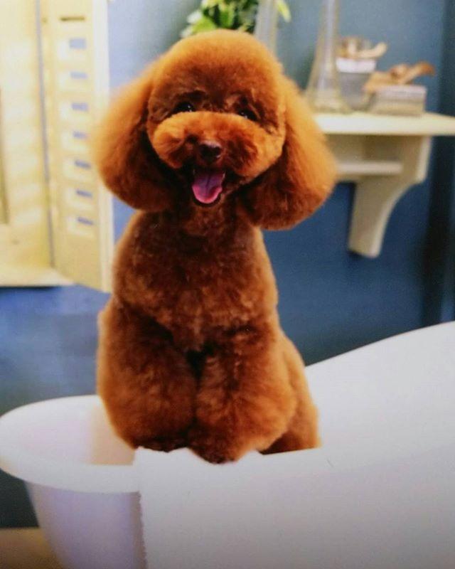 お風呂シリーズ、もう一丁✨(笑)  #もふもふ#溺愛#親バカ部#アニマル写真部#可愛い#犬 #dog#わんこ#フォロー#いぬ#愛犬 #ふわもこ部#イヌ#トイプードルレッド#ふわふわ#にこにこ #トイプー#love#癒し#犬のいる暮らし#犬のいる生活#いいね#フォロバ#フォローミー#女子#幸せ#トイプードル#犬がいる生活#大好き