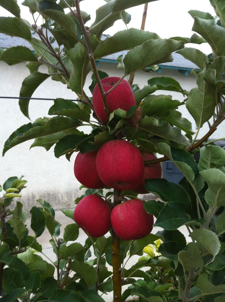 17 Best Images About Apples On Pinterest Crab Apples Trees And Obelisks