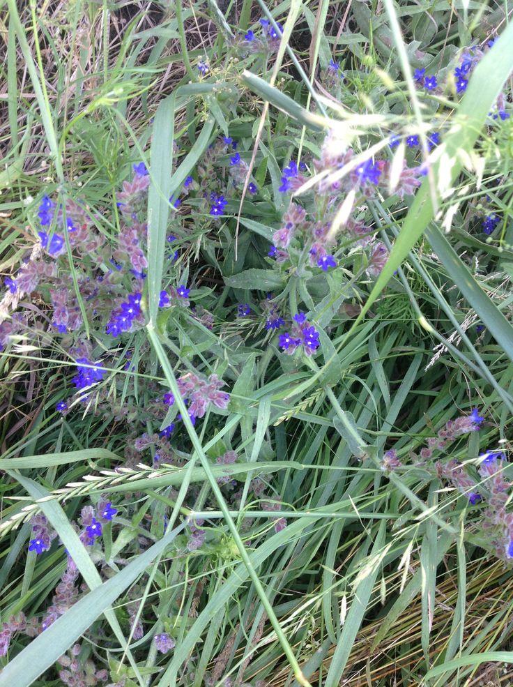 Цветы синие полевые