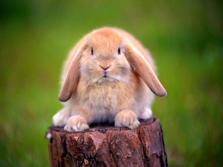 Imagenes de Conejos: Fotografia conejos orejas caidas  [09-08-15]