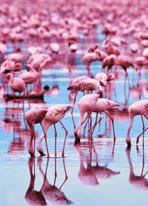 Lovely birds on stalk legs - flamingos reflected in the still waters at the beach sand's edge. RESEARCH #DdO:) - https://www.pinterest.com/DianaDeeOsborne/dido-reflections/ - other REFLECTIONS of all sorts #Pinterest board.  - That's a LOT of pink in these waterbirds! Did you know? What they eat affects how deep their color is, like shrimp and algae that are high in pigments called carotenoids. Pinned via Jill Redmann.