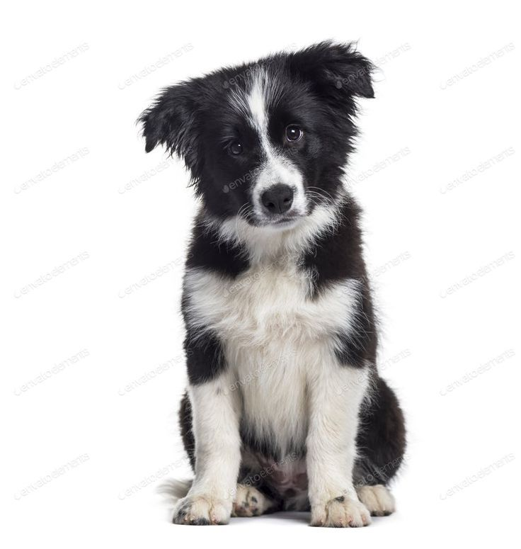 Border Collie Puppy 17 Weeks Old Sitting Against White Background By Lifeonwhi Product Mockups Backgrou Border Collie Puppies Collie Puppies Collie