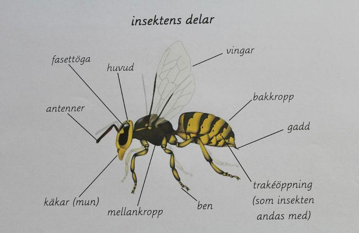 Dagens inlägg är ett tips på hur man kan arbetat med insektens delar. På förskolan följer vi det som intresserar barnen och vad som händer...