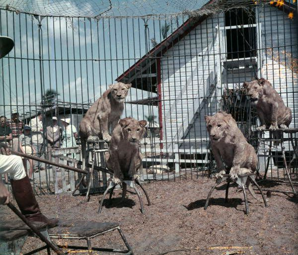 Florida Memory - View showing lions in the cage being trained at the Ringling Circus in Sarasota, Florida.