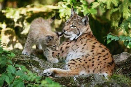 Eye to eye with the lynxes © mauritius images/Alamy #animals #nature #lynx