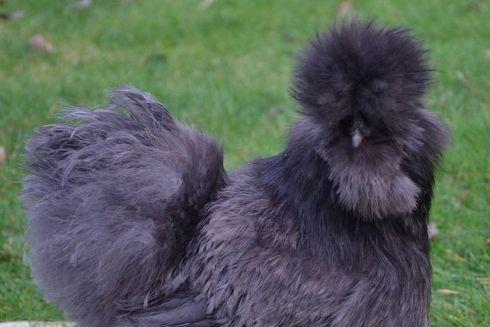 Parmi les volatiles dérobés, cette élégante poule soie noire.