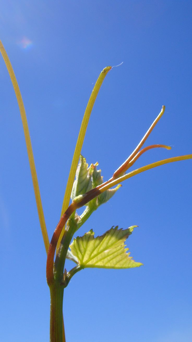 New growth on Greenhough Vineyard - a glimpse of what is to come