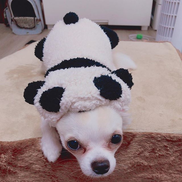 ✩ 上野動物園パンダの赤ちゃんの名前が シャンシャン(香香)になりましたね🐼⭐️ うちにもパンダの赤ちゃんいるよ〜💖 ミンミンだよ🐶 ・ ・ #愛犬 #ミント #ミックス犬 #男の子  #チワワ #ポメラニアン #チワポメ#ポメチワ#kawaii  #ポメチー #甘えん坊 #dog #9ヶ月 #instadog  #かわいい #cute  #パンダ #赤ちゃん #シャンシャン #香香 #ミンミン #コスプレ #コスプレ犬 #パンの上