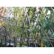 Malus Benoni Leivorm (Appelboom) (3 stuks)