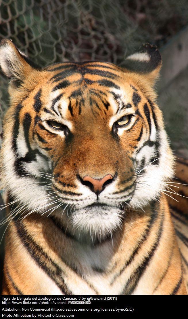 Los tigres de Bengala a pesar de ser animales feroces también estan en una situación límite. ¡Os lo cuento todo en Victor Madera Vet! http://victormadera.blogspot.es/1500377481/victor-madera-cvc-5-animales-en-peligro-de-extincion/  #Victor Madera #Victor Madera CVC, #Victor Madera Vet #animales