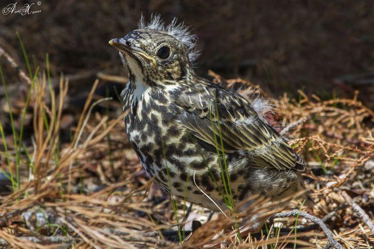 Tordoveia, Mistle thrush (Turdus viscivorus) - em Liberdade [in wild]