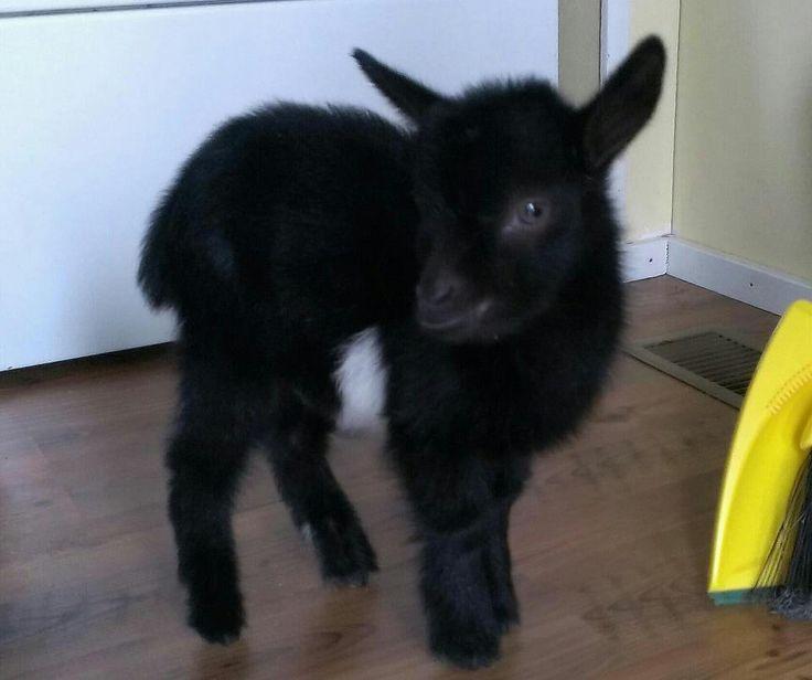 a77a7bf40e141f1c978e994ce3641f16--fainting-goat-black-sheep.jpg