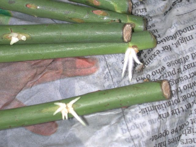 Wow! She got roses to root by wrapping them in damp newspaper 'burritos'! Read the instructions before trying, important! == Pushing the Rose Envelope: Wrapping cuttings