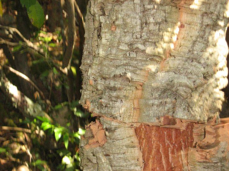 quercia da sughero - Gallura -