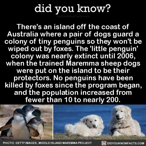 There's an island off the coast of Australia where a pair of dogs guard a colony of tiny penguins so they won't be wiped out by foxes. The 'little penguin' colony was nearly extinct until 2006, when the trained Maremma sheep dogs were put on the...