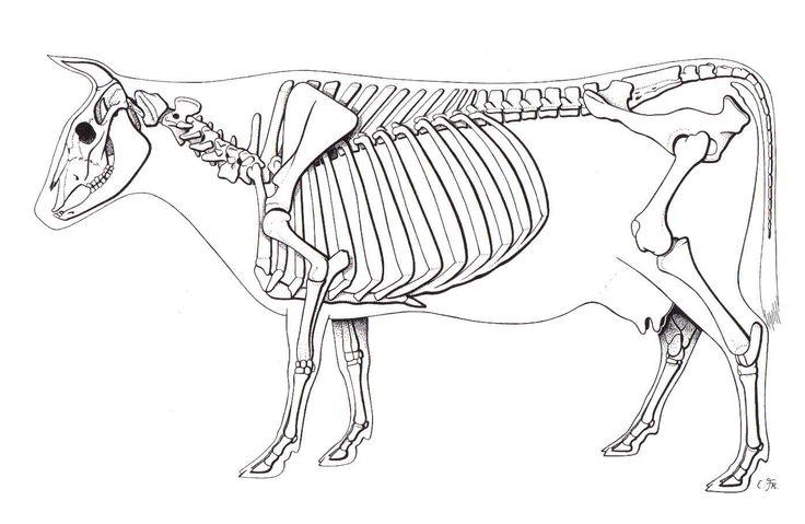 Cow    Skeleton em 2019   Desenhos