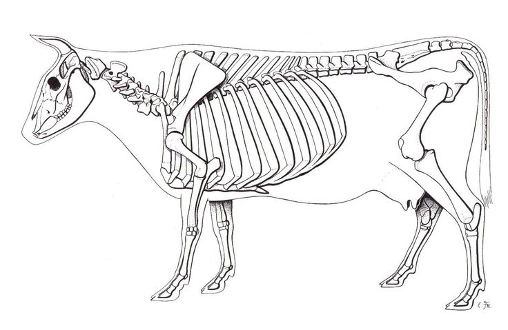 Cow Skeleton | animal skeletons em 2019 | Cow skeleton, Skeleton e Animal skeletons